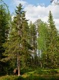 Brown bear in the finnish taiga Stock Photos