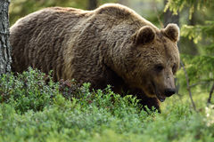 Brown bear in the finnish taiga Royalty Free Stock Images