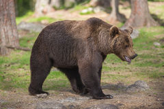 Brown bear in Finnish Tiaga forests. A high resolution image of a brown bear in a tiaga forest Royalty Free Stock Image