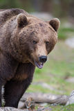 Brown bear in Finnish Tiaga forests. A high resolution image of a brown bear in a tiaga forest Royalty Free Stock Photography