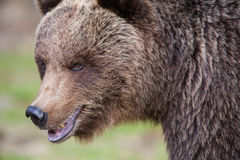 Brown bear in Finnish Tiaga forests. A high resolution image of a brown bear in a tiaga forest Stock Images