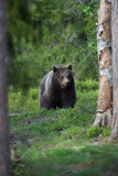 Brown bear in Finnish Tiaga forests Royalty Free Stock Images