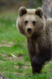 Brown bear in Finnish Tiaga forests. A high resolution image of a brown bear in a tiaga forest Royalty Free Stock Images