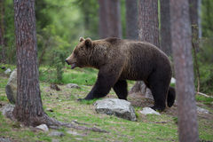 Brown bear in Finnish Tiaga forests Stock Photo