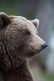 Brown bear in Finnish Tiaga forests Royalty Free Stock Photo