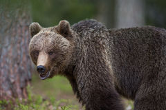 Brown bear in Finnish Tiaga forests. A high resolution image of a brown bear in a tiaga forest Stock Image