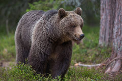 Brown bear in Finnish Tiaga forests. A high resolution image of a brown bear in a tiaga forest Stock Photo