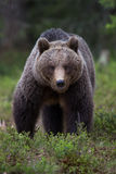 Brown bear in Finnish Tiaga forests. A high resolution image of a brown bear in a tiaga forest Royalty Free Stock Photo