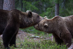 Brown bear in Finnish Tiaga forests Stock Images