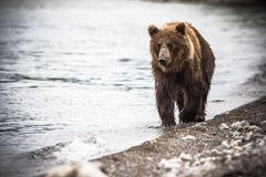 The brown bear fishes Stock Photography