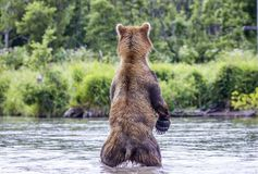 The brown bear fishes Stock Images