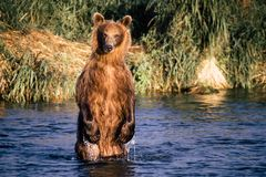 The brown bear fishes Stock Image