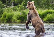 The brown bear fishes Royalty Free Stock Images