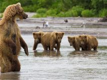The brown bear fishes Royalty Free Stock Photo