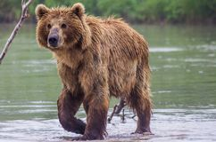 The brown bear fishes Stock Photo