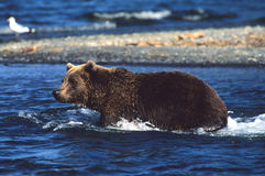 Brown Bear Fishing royalty free stock photos