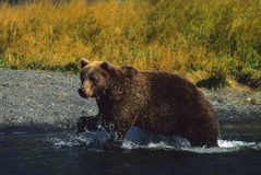 Brown Bear Fishing royalty free stock image