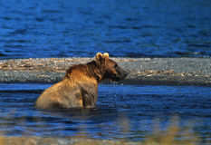 Brown Bear Fishing Stock Images