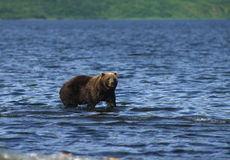 Brown Bear Fishing in Lake Royalty Free Stock Photos