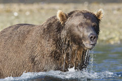 Brown Bear fishing in river. Brown Bear looking for salmon in Katmai National Park Stock Photo