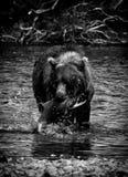 Alaskan bear fishing. A brown bear fishing salmons in the Katmai peninsula, Alaska Royalty Free Stock Images