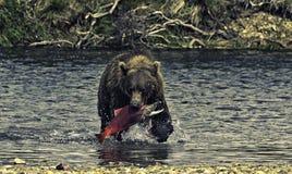 Alaskan bear fishing. A brown bear fishing salmons in the Katmai peninsula, Alaska Royalty Free Stock Photo