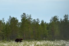 Brown bear in flourishing bog landscape at summer. Bear in taiga landscape Royalty Free Stock Photo