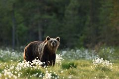 Brown bear in flourishing bog Stock Image