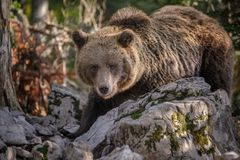 Brown bear foraging amoung limestone boulders Royalty Free Stock Images