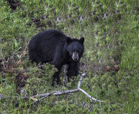 Brown Bear. Foraging Yellowstone National Park Stock Photography