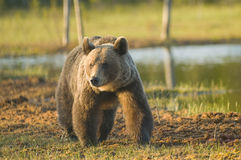 Brown bear in forest Royalty Free Stock Photo