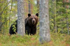 Brown bear in forest Royalty Free Stock Photography