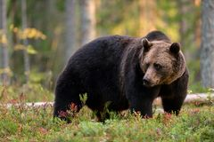Brown bear in forest. Brown bear in the autumn forest Stock Images