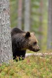 Brown bear in the forest behin a tree Royalty Free Stock Photography