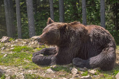 Brown bear in the forest. Big adult brown bear lying and bask in the sun in the Carpathian mountains Stock Photography