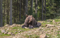 Brown bear in the forest. Big adult brown bear lying and bask in the sun in the Carpathian mountains Stock Image