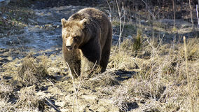 Brown bear in the forest. Big Brown Bear. Royalty Free Stock Photography