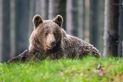 A brown bear in the forest. Big Brown Bear. Bear sits on a rock. Ursus arctos. Close up wild, big Brown Bear, Ursus arctos, male on the bank of lake, staring stock photo