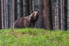 A brown bear in the forest. Big Brown Bear. Bear sits on a rock. Ursus arctos. Close up wild, big Brown Bear, Ursus arctos, male on the bank of lake, staring royalty free stock photo