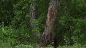Brown bear in the forest stock footage