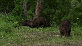 Brown bear in the forest stock video footage