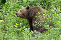 Brown bear. Royalty Free Stock Photography