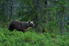 Brown bear in a forest landscape Stock Images