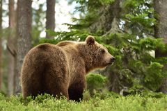 Brown bear in forest landscape Royalty Free Stock Image