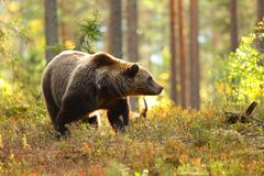Brown bear in a forest looking at side stock photo