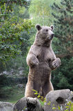 Brown bear in the forest Stock Image