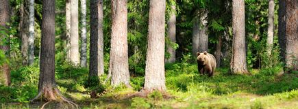 Brown bear in forest Royalty Free Stock Photos