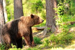 Brown bear in forest Stock Images