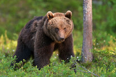 Brown bear in forest Stock Photo