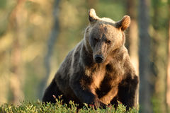 Brown bear in a forest Royalty Free Stock Photo
